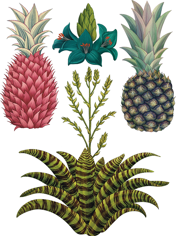 Eighteenthcenturylit Licensed For Non Commercial Use Only Pineapples